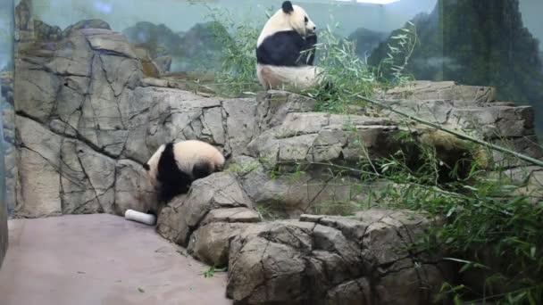 pandy jíst bambus v zoo