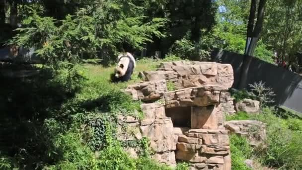 panda walks on grass and stones in zoo