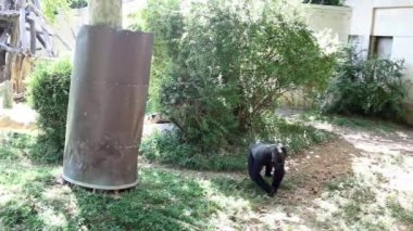 USA, WASHINGTON - AUG 28, 2014: Big black gorilla walks in green open air cage in Smithsonian National Zoo.