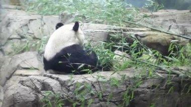 USA, WASHINGTON - AUG 28, 2014: Giant pandas eat green bamboo in rocky shelter at Smithsonian National Zoo.