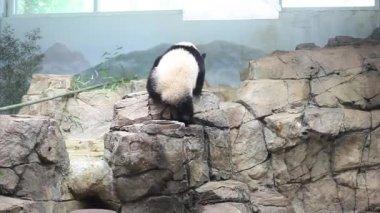USA, WASHINGTON - AUG 28, 2014: Giant panda bear slowly climbs stone rocks at Smithsonian National Zoo.