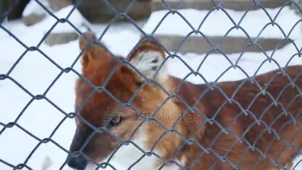 Krásná červená fox vypadá přes net a uteče z produkce v kleci v zoo v zimě