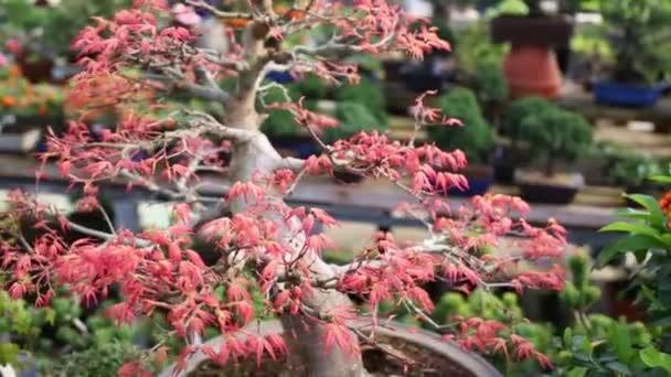 Javor červený bonsaje strom s otevřením nové mladé listy.