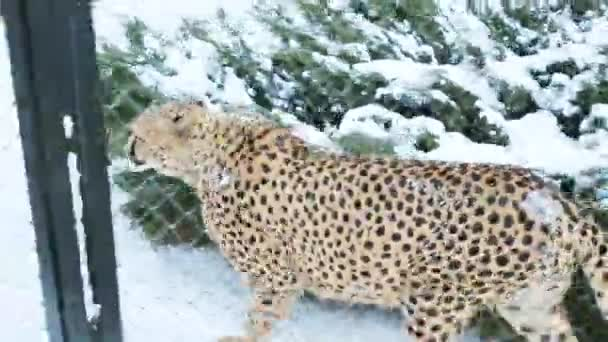 Gepard jde na sněhu v kleci za net v zoo
