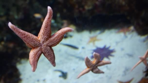 Close-up starfish clinging to glass wall of aquarium