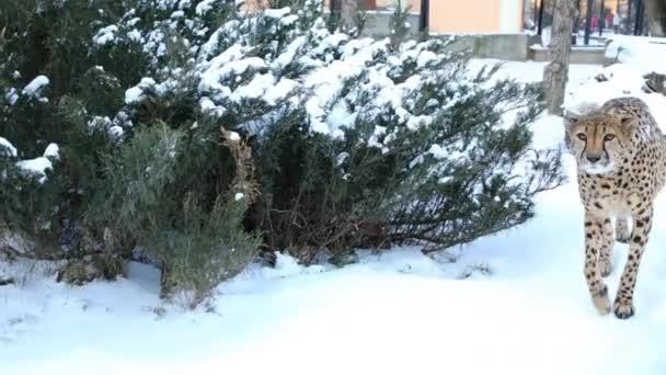Gepard jde na sněhu v kleci v zoo v zimě