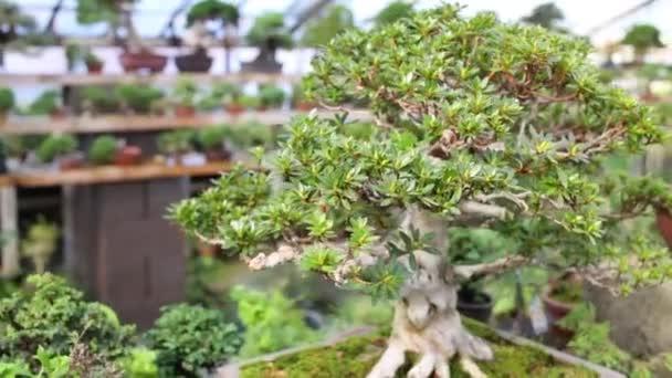Bonsaje strom s hustou kufru a svěží zelené listy na koruny