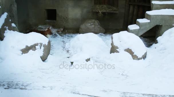 Krásná červená liška běží na sněhu v kleci v zoo v zimě