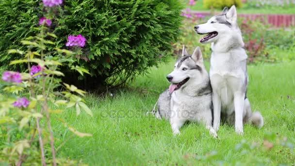 Két gyönyörű Husky kutyák a következő fű Bush-park.