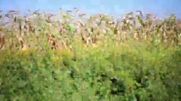 Rychlý pohyb po silnici vedle zelené pole kukuřice v létě