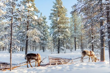 Reindeer safari in Lapland