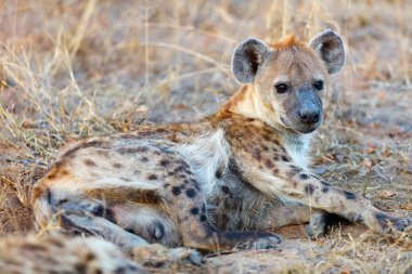 Hyena in Africa