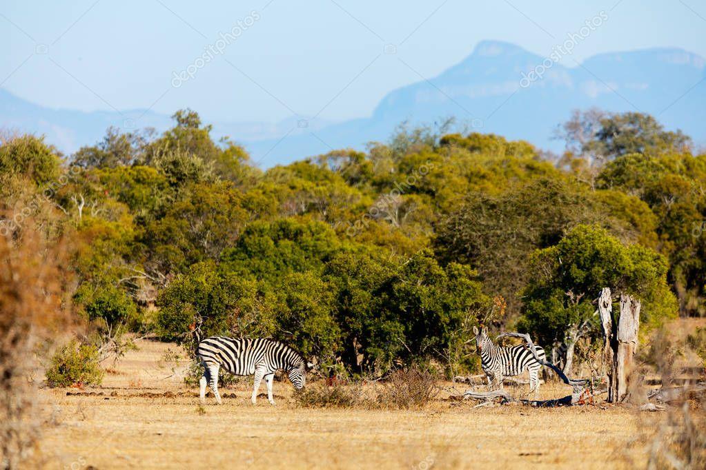 Zebras in safari park