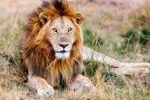 Muž Lev v Africe