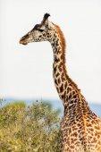 žirafa v safari parku
