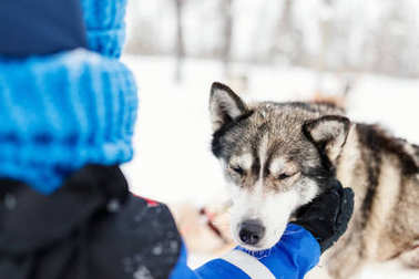 Close up of little girl having a cuddle with husky sled dog in Lapland Finland stock vector