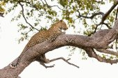 Beautiful leopard on a tree