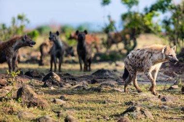 Hyenas in safari park