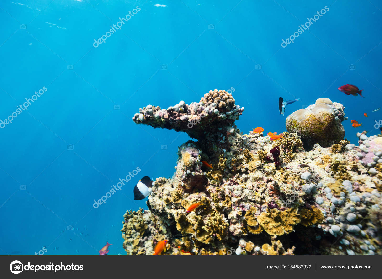 Beautiful Colorful Coral Reef And Tropical Fish Underwater In Maldives Photo By Shalamov