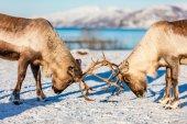 Detailní záběr sobů boje v severním Norsku slunný zimní den