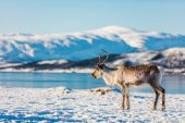 Photo Reindeer in Northern Norway with breathtaking fjords scenery on sunny winter day