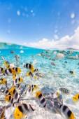 Fotografie barevné ryby, rejnoky a černý šikmý žraloci pod vodou laguny bora bora