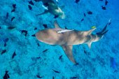 Fotografie Lemon sharks swim among fish in Pacific ocean