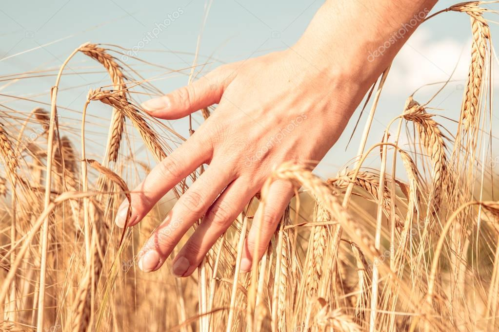 Photo of mans hand and rye spikelets