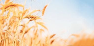 Photo of wheat crop on defocused background