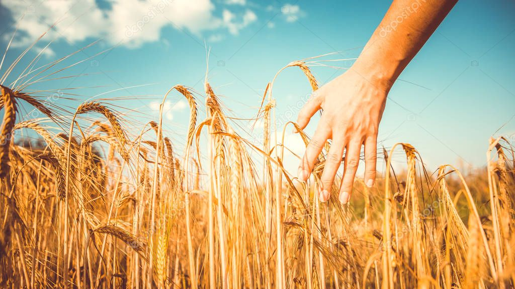 Photo of mans hand and rye spikelets, blue sky