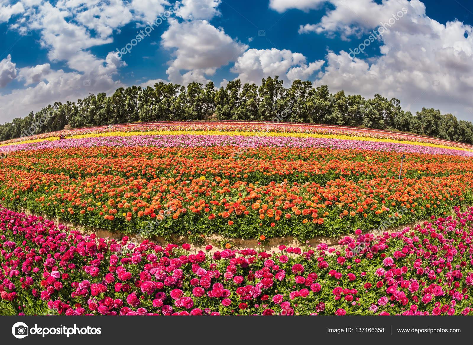champ de fleurs plantation de bandes de couleur photographie kavramm 137166358. Black Bedroom Furniture Sets. Home Design Ideas