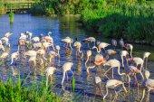Flock of pink flamingos foraging in water