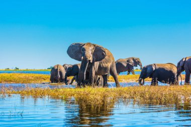 African elephants crossing river