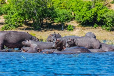 Huge herd of hippos resting in cool waters of the river. Okavango Delta, Chobe National Park, Botswana stock vector