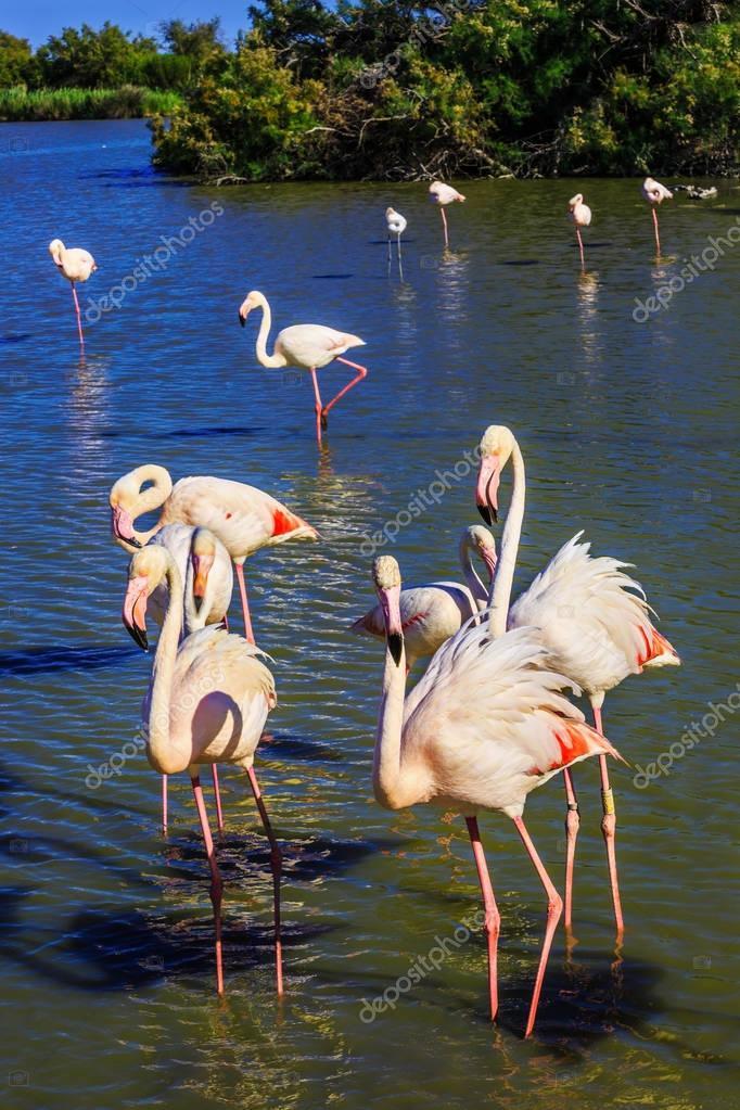 flamingos standing in Rhone Delta