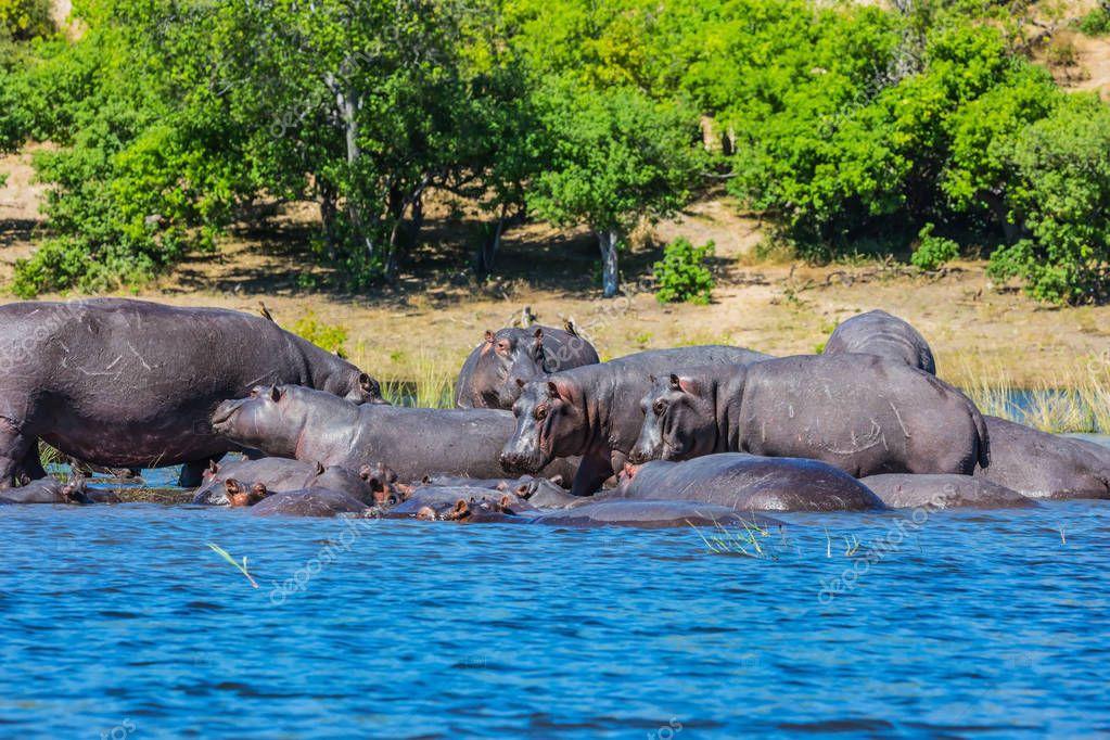 Huge herd of hippos resting in cool waters of the river. Okavango Delta, Chobe National Park, Botswana stock vector