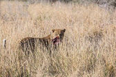 nagy afrikai leopárd