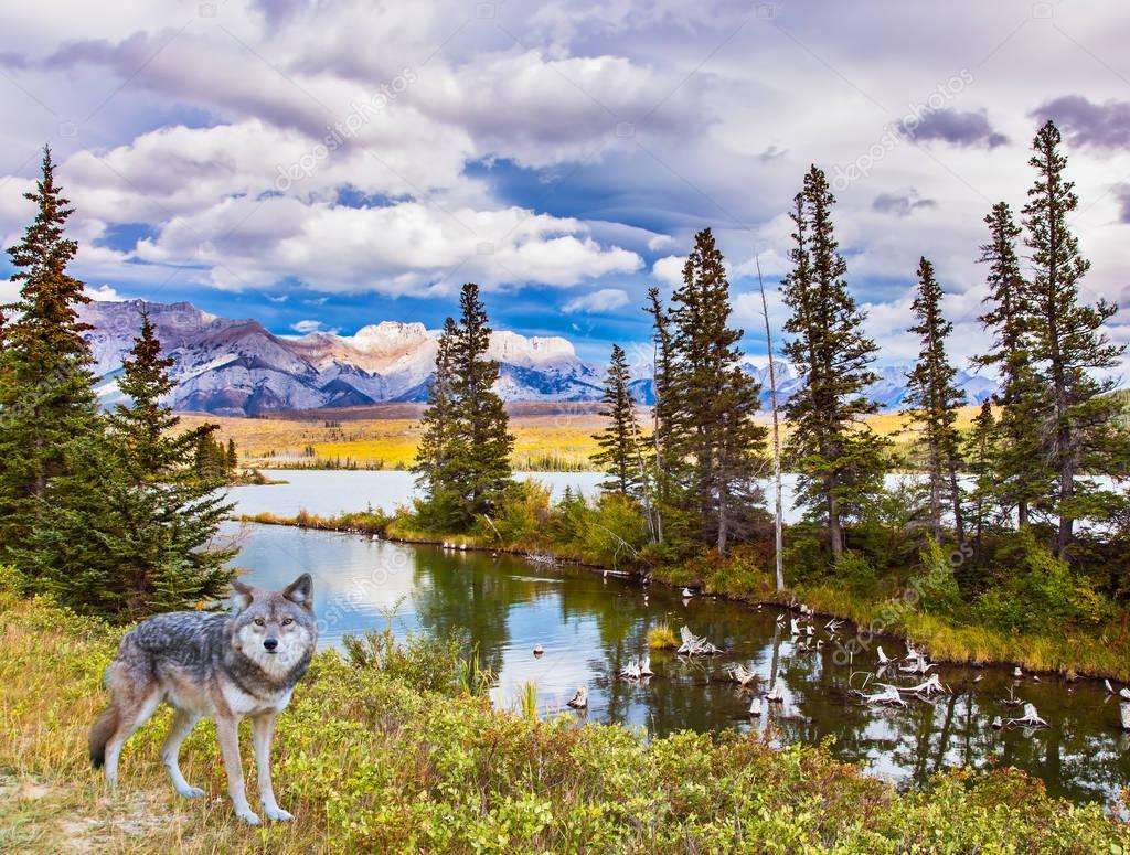 Gray forest wolf stands on the lake shore. Magnificent landscape in the Rocky Mountains. The concept of ecological and active tourism