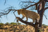 Fotografie Magnificent African leopard among the dry savanna. The concept of exotic and extreme tourism. Travel to Namibia