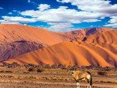Oryx pasoucí se v poušti Namib na horu v Sunset Namibie, Jižní Afrika. Koncept exotických a extrémní turistiky