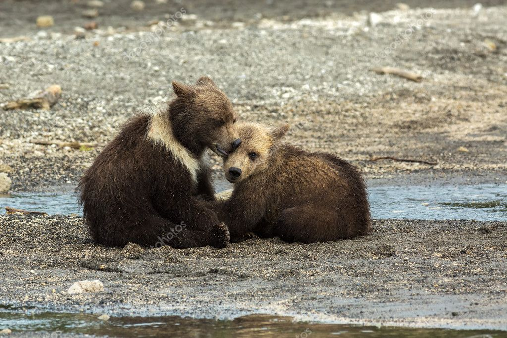 Funny brown bear cubs on the shore of Kurile Lake.