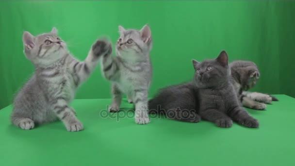 Krásné malé koťata Scottish Fold na Green Screen stopáže videa