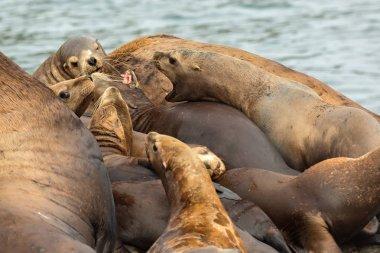 Rookery Steller sea lions. Island in Pacific Ocean near Kamchatka Peninsula.