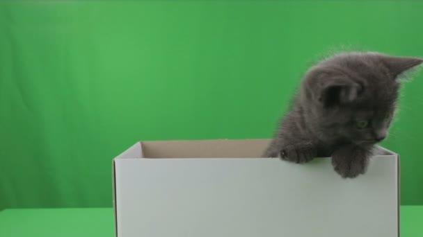 Krásné koťátko Scottish Fold v poli na Green Screen.
