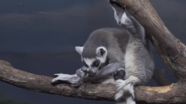 Funny Ring-tailed lemur licking its fur on tree branch stock footage video
