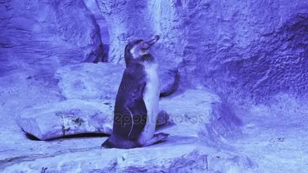 Vtipné tučňák Humboldtův snaží usnout stopáže videa