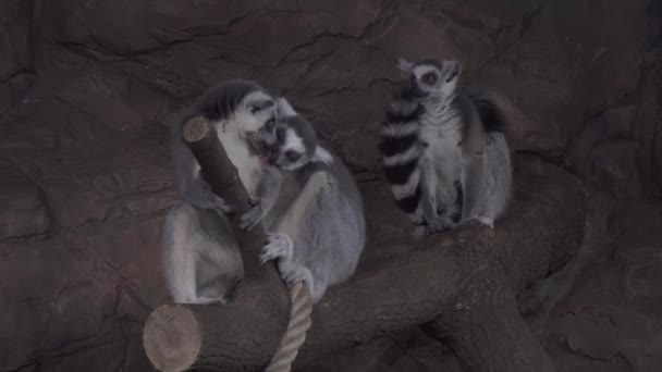 Group of Ring-tailed lemur on tree branch stock footage video