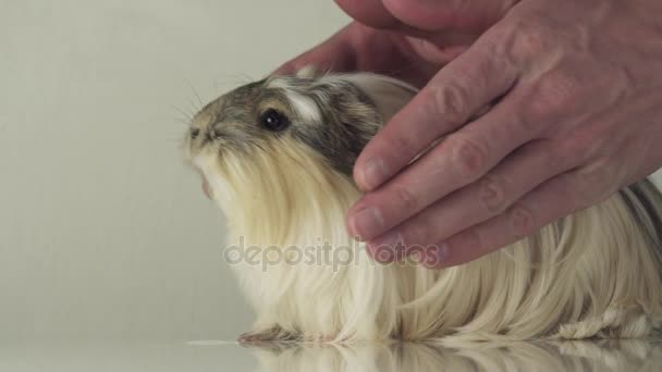 Favorite guinea pig breed Coronet cavy trusting in good hands of reliable men slow motion stock footage video