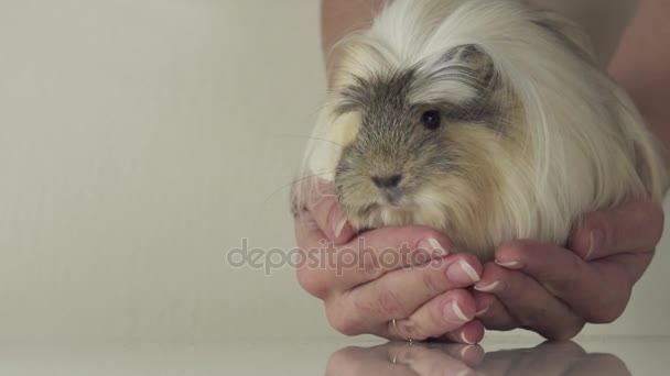 Favorite guinea pig breed Coronet cavy trusting in good gentle female hands slow motion stock footage video