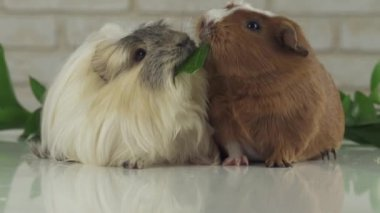 One guinea pig robs another cucumber struggle for survival slow motion stock footage video